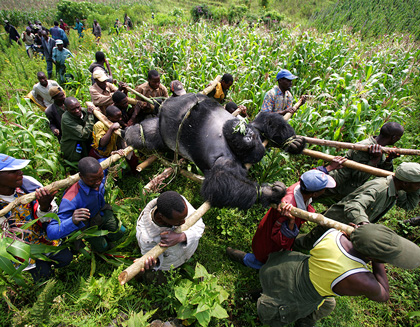 Conservation rangers work with locals in Gorillas New Threat of Extinction